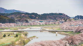 Cherry blossoms or Sakura and river Royalty Free Stock Photography