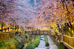 Cherry blossoms sakura Royalty Free Stock Photo