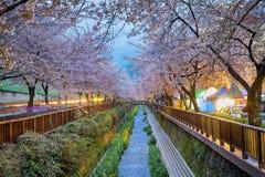 Cherry blossoms sakura Royalty Free Stock Photos