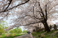 Cherry blossoms or Sakura in Tenshochi park, Kitakami city, Iwat Stock Photos