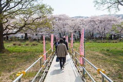 Cherry blossoms or Sakura in Tenshochi park, Kitakami city, Japan Royalty Free Stock Photos