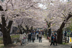 Cherry blossoms or Sakura in Tenshochi park, Kitakami city, Japan Stock Photography