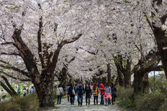Cherry blossoms or Sakura in Tenshochi park, Kitakami city, Japan Stock Photos