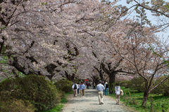 Cherry blossoms or Sakura in Tenshochi park, Kitakami city, Japan Stock Image