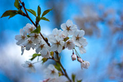 Cherry Blossoms (Sakura Trees), High Park Toronto Royalty Free Stock Photo