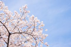 Cherry blossoms scene Royalty Free Stock Images