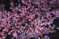 Senba Lake Cherry Blossoms stock photo