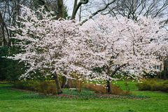Cherry blossoms at Sherwood Gardens Park, in Baltimore, Maryland.  stock image