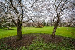 Cherry blossoms at Sherwood Gardens Park, in Guilford, Baltimore, Maryland.  stock photography