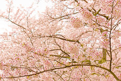 Cherry Blossoms in Shiga, Japan Stockbilder