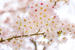 Cherry Blossoms in Shiga, Japan Stockbild