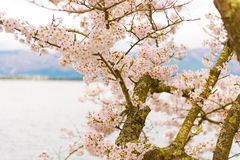 Cherry Blossoms in Shiga, Japan Stockfotos