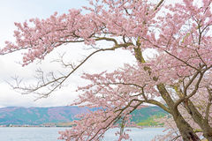 Cherry Blossoms in Shiga, Japan Lizenzfreie Stockbilder