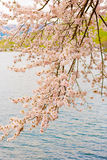 Cherry Blossoms in Shiga, Japan Stockfoto