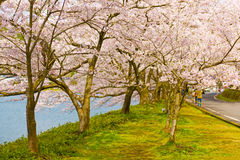Cherry Blossoms in Shiga, Japan Lizenzfreies Stockbild