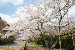 Cherry blossoms at side walk Stock Photo