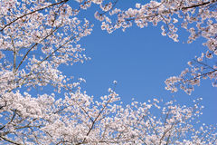 Cherry blossoms and sky Royalty Free Stock Images