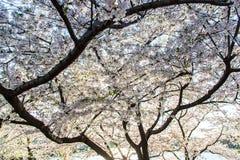 Cherry Blossoms sky. Washington DC Cherry Blossom festival, Spring 2014 Stock Photos