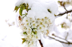 Cherry blossoms with snow. Fascicle of cherry blossoms with snow Stock Photos