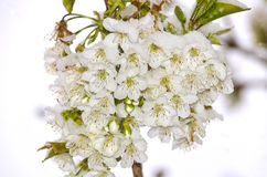 Cherry blossoms with snow. Fascicle of cherry blossoms with snow Stock Images