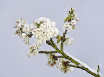 Cherry blossoms with snow. Twig with fascicle of cherry blossoms with snow Stock Photography