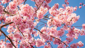 Cherry Blossoms som fyller himlen arkivfoto