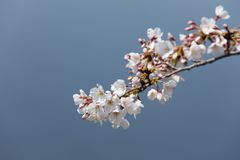 Cherry blossoms Somei-yoshino. In Japan royalty free stock photography