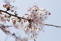 Cherry blossoms Somei-yoshino. In Japan royalty free stock photos