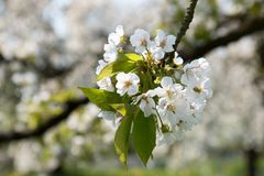 Cherry Blossoms in Sping Royalty Free Stock Photography