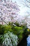 Cherry Blossoms and Spiraea on Philosopher`s Walk, or Tetsugaku-no-Michi, Kyoto, Japan Stock Photography