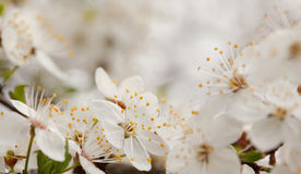 Cherry blossoms in the spring Royalty Free Stock Photography