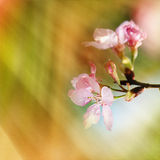 Cherry blossoms during spring Royalty Free Stock Photo