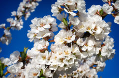 Cherry blossoms. Are in spring Royalty Free Stock Photo