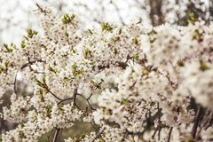 Cherry blossoms in spring Royalty Free Stock Photography