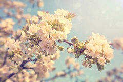 Cherry blossoms in spring. Cherry blossoms against  a blue sky Royalty Free Stock Photos