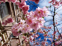 Cherry Blossoms. During the spring the cherry Blossoms bloom on mass in March. This is a beautiful spring day Royalty Free Stock Photos