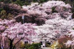 Cherry blossoms in spring. Cherry blossoms blossming in spring in seoul, south korea taken in seoul national cemetery royalty free stock photography