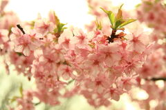 Cherry blossoms. Spring is cherry blossom season Royalty Free Stock Image