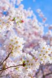 Cherry Blossoms of Spring. Blossoming white cherry blossoms at the university of washington in seattle on a beautiful spring day stock photography