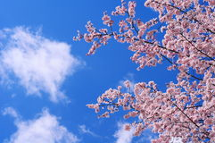 Cherry Blossoms Spring Blue Sky Lizenzfreie Stockfotos