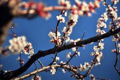 Cherry blossoms in spring. With blue sky in the background Royalty Free Stock Photography