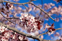 Cherry blossoms in spring on the blue sky Stock Photography