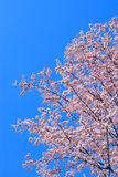 Cherry Blossoms Spring Clear Blue Sky Royalty Free Stock Photos