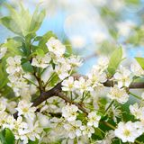 Cherry blossoms in spring Stock Photography