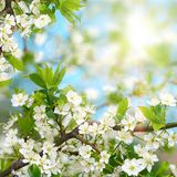 Cherry blossoms in spring Royalty Free Stock Photos
