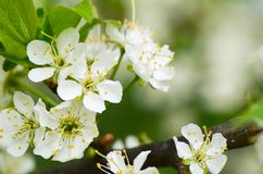 Cherry blossoms in spring Stock Image