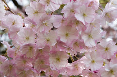 Cherry blossoms in spring. Close up of pink flowering cherry Stock Photography
