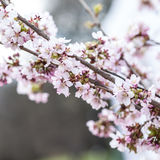 Cherry blossoms in the spring. Cherry blossoms on a spring day Royalty Free Stock Images