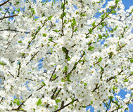 Cherry blossoms in spring day Stock Image