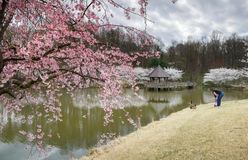 Cherry Blossoms Spring Event Virginia Royalty Free Stock Images